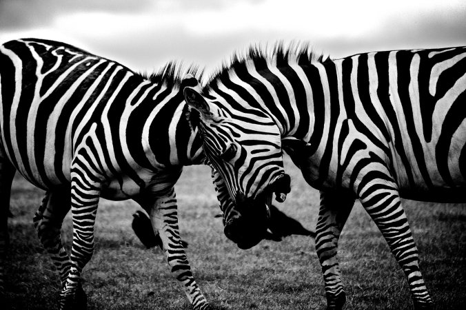 black-and-white-africa-animals-wilderness.jpg